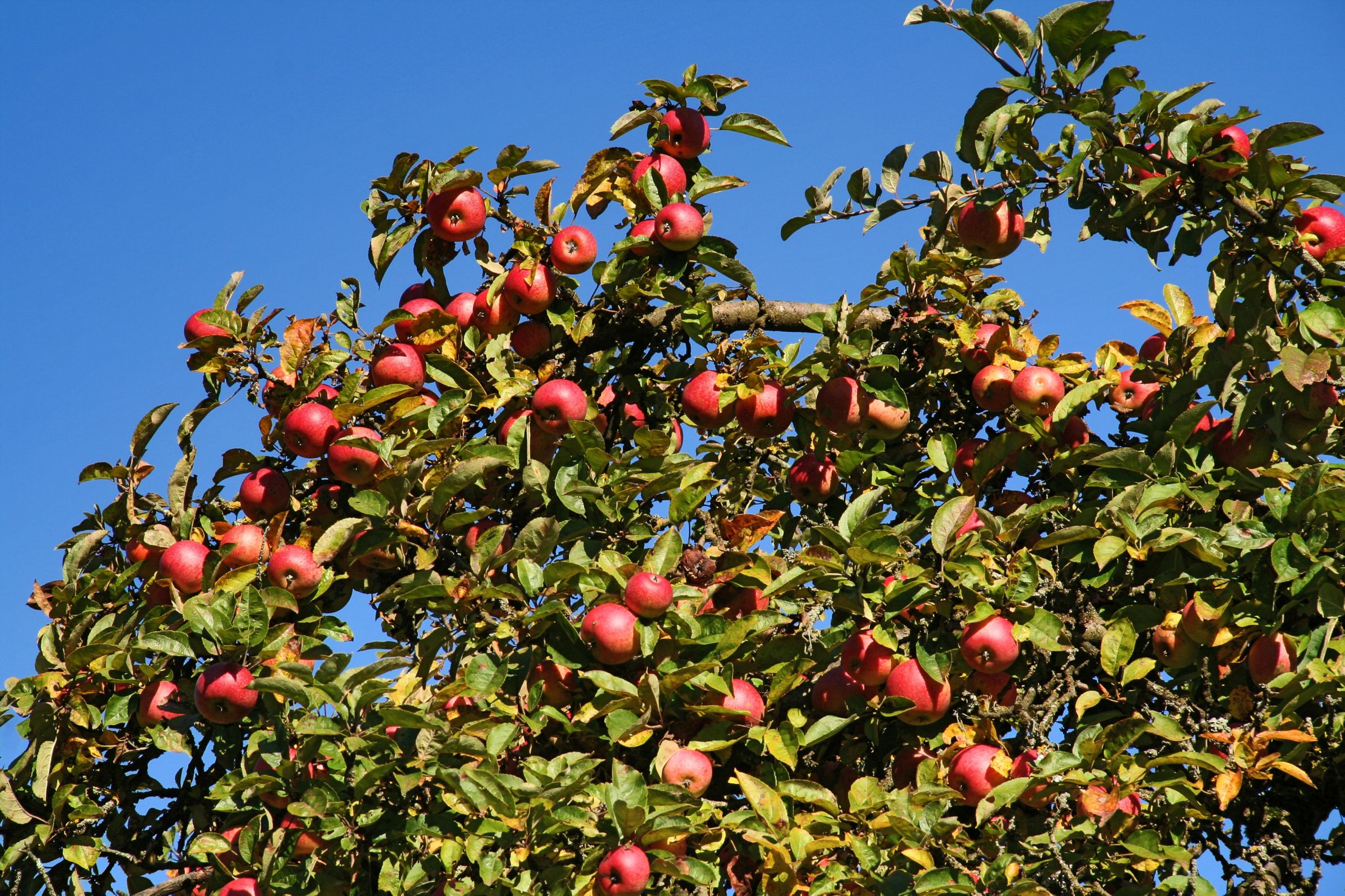 illinois state historical society hoping to plant apple tree in